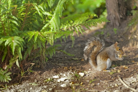 The grey squirrel was introduced to England, Scotland and Ireland from North America in the Victorian era photo