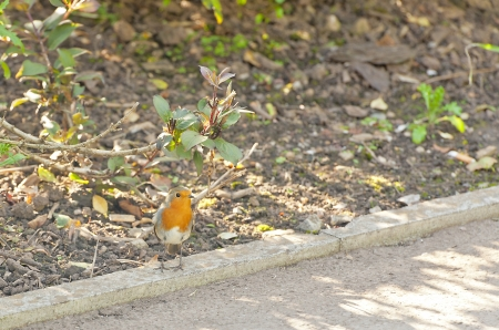 The Robin is a plump bird with bright orange-red breast