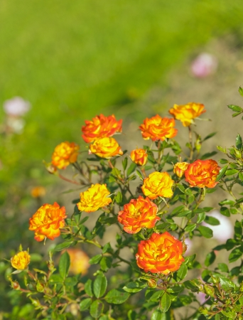 minature: Colorful Minature Orange and Yellow Roses ona Summers Day Stock Photo