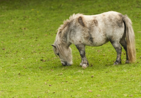 minature: Many different Pony Breeds were Bred for Small Size Horses
