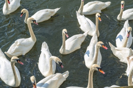 bevy: Bevy of Swans Swimming Close Together on thr River