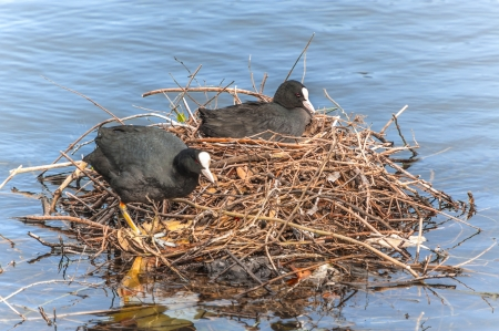 coot: Coots are Medium-Sized, Crane-Like Birds that are Members of the Rallidae Family Stock Photo