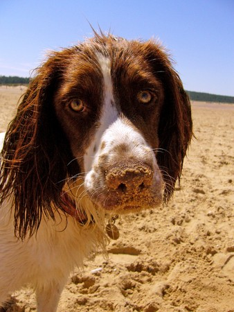 Spaniel with sand on nose Stock Photo - 4256282