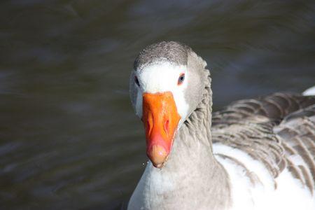 photo of a blue eyed orange beeked goose taken in woodbridge, suffolk, uk photo