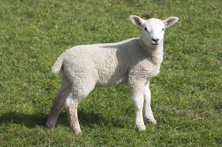 herding: Lamb a week or two old taken in suffolk, uk