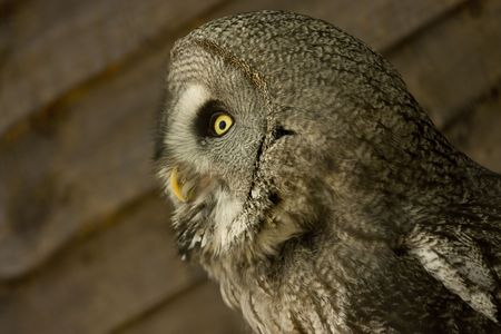 plummage: side view of owl face looking away