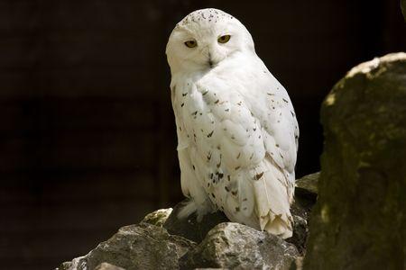 plummage: lechuza �rtico cubierto de nieve posados en una roca