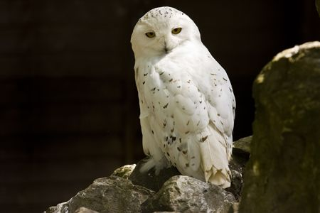 perched: snowy arctic owl perched on a rock