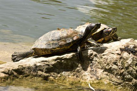 sun bathing: 2 turtles sun bathing on a rock Stock Photo