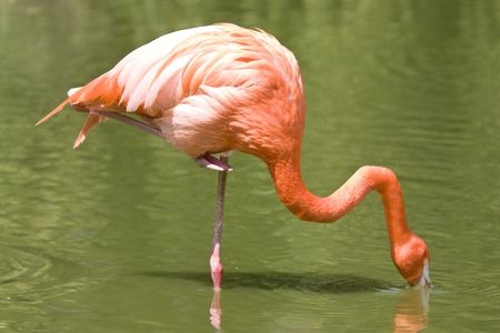 plummage: flamingo standing on one leg eating in river