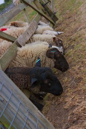 peaking: sheep peaking under a gate for food at farm