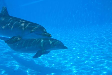 2 dolphins swimming underwater in the ocean photo