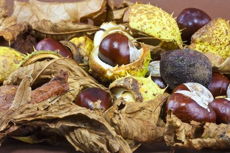 conkers and conker leaves and cases in the studio Stock Photo - 5687337