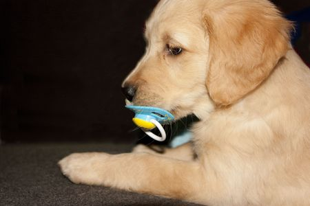 Cute Golden retriever puppy 6 weeks old photo