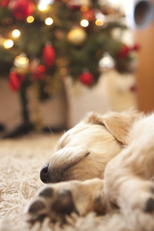 Cute Golden retriever puppy 6 weeks old asleep in front of christmas tree
