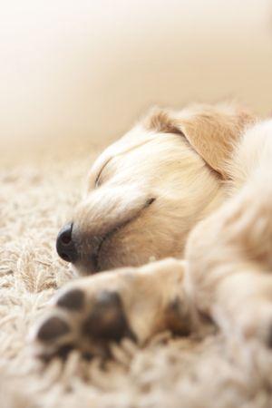 Cute Golden retriever puppy 6 weeks old asleep