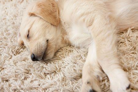 Cute Golden retriever puppy 6 weeks old asleep photo