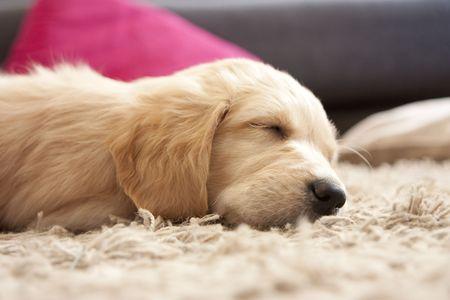 Cute Golden retriever puppy 6 weeks old asleep Stock Photo - 6075644