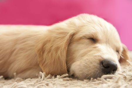 golden retriever puppy: Cute Golden retriever puppy 6 weeks old asleep
