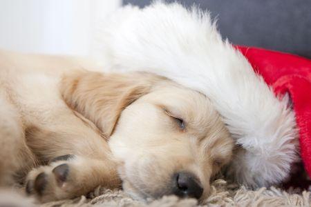 Cute Golden retriever puppy 6 weeks old photo