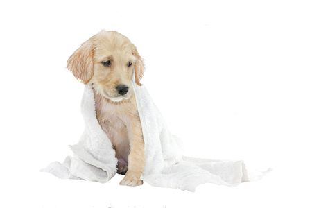 retreiver: golden retriever puppy being dried with a towel, isolated on white