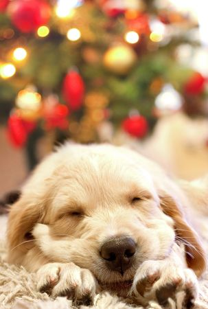 puppy golden retriever asleep in front of a christmas tree photo