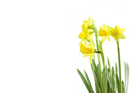 may lily: group of spring daffodis flowering on a white background Stock Photo