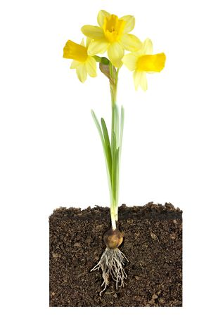 daffodils: daffodil and bulb and roots into the earth Stock Photo