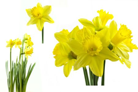 narcissus: daffodil group shots isolated on a white background