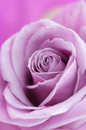 english rose: short depth of field focus on the centre of a pink english rose Stock Photo