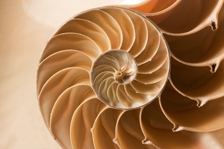 discover: A perfect close up of an amazing fibonacci pattern in a nautilus shell
