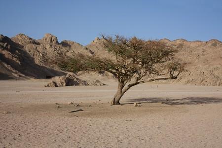 sinai desert: single barren tree in the barren sinai desert in egypt Stock Photo