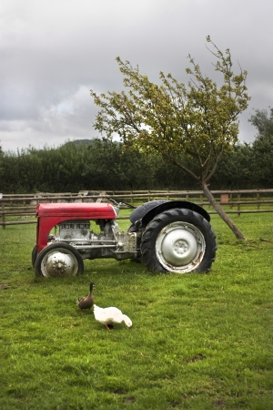 old tractors: red tractor and ducks in a farm in the uk
