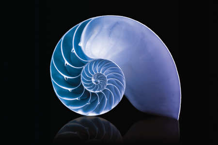 spirals: fibonacci pattern on shell viewed spiral from front