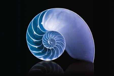 fibonacci pattern on shell viewed spiral from front