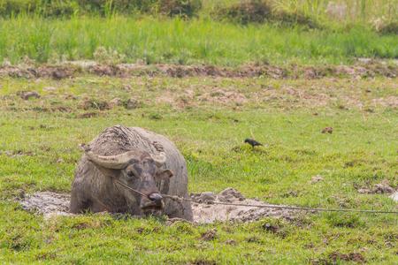 buffalo grass: buffalo in grass field in Thailand