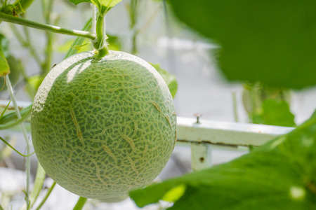 Cantaloupe: Cantaloupe melons growing in a greenhouse Stock Photo
