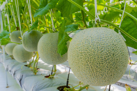 melon field: Cantaloupe melons growing in a greenhouse Stock Photo