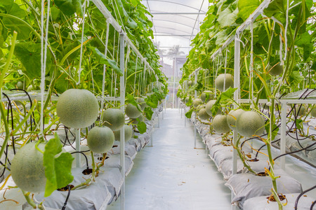 Cantaloupe melons growing in a greenhouse Stock Photo