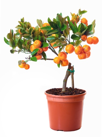 citrus plant: small citrus tree in the pot  isolated on white Stock Photo