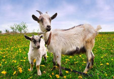 capre: Bellissimo paesaggio estivo con una capra e capretto