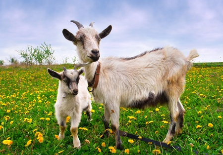 Hermoso paisaje de verano con una cabra y cabrito
