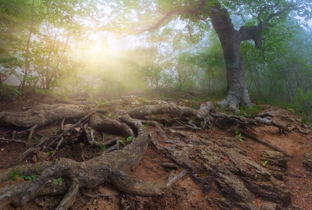 Sunrise in a mystical forest photo