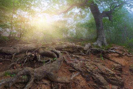 Sunrise in a mystical forest