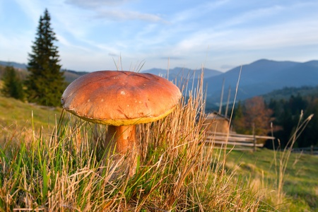 Edible fungi growing in the mountains photo