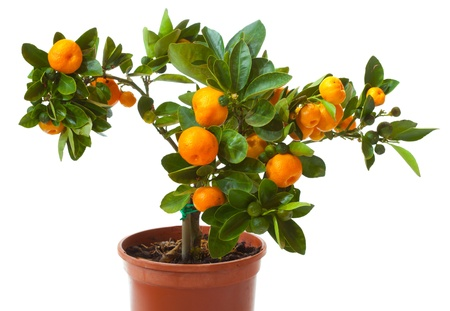 small citrus tree in the pot  isolated on white Фото со стока