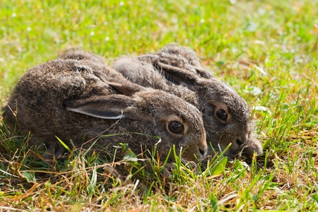 Two brown hares on the meadow photo