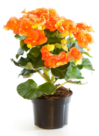 Blossoming plant of begonia in flowerpot isolated on white. photo