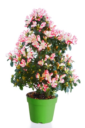Blossoming plant of azalea in green flowerpot isolated on white photo