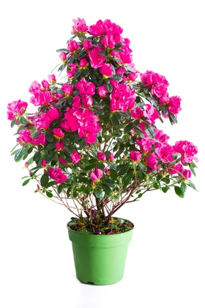Blossoming plant of pink azalea in green flowerpot isolated on white